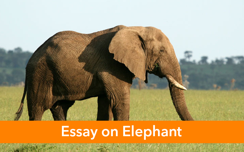 Essay/Few Lines  on An Elephant